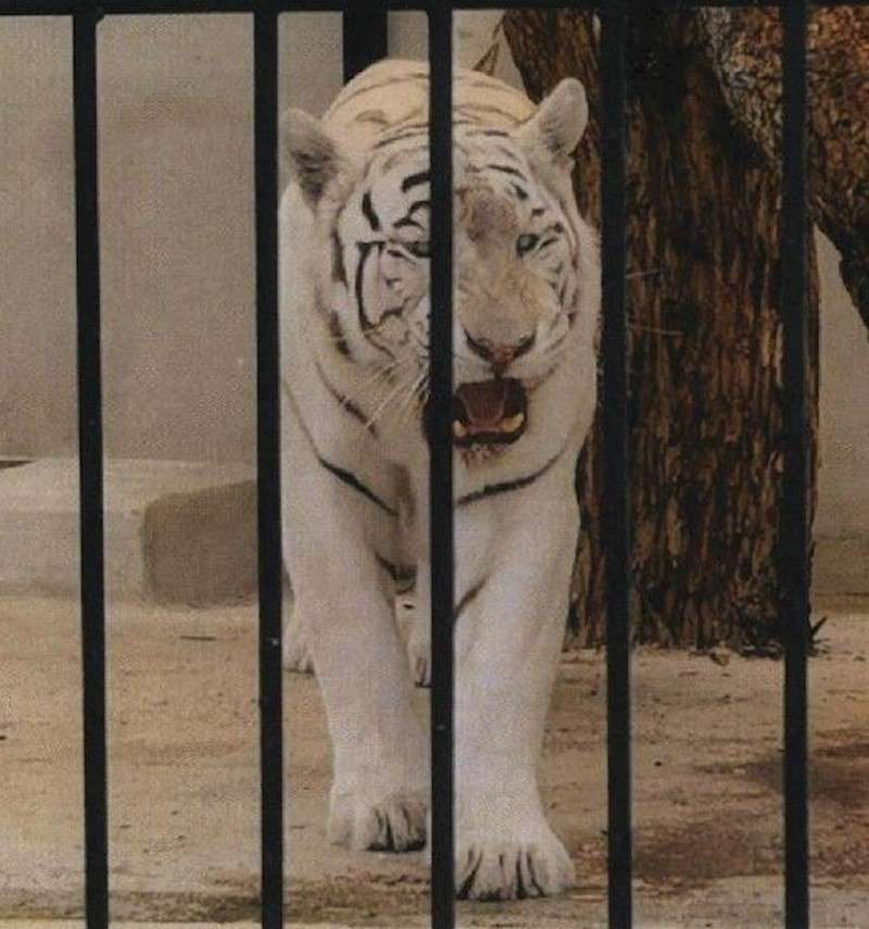 Tigre albino. EFE