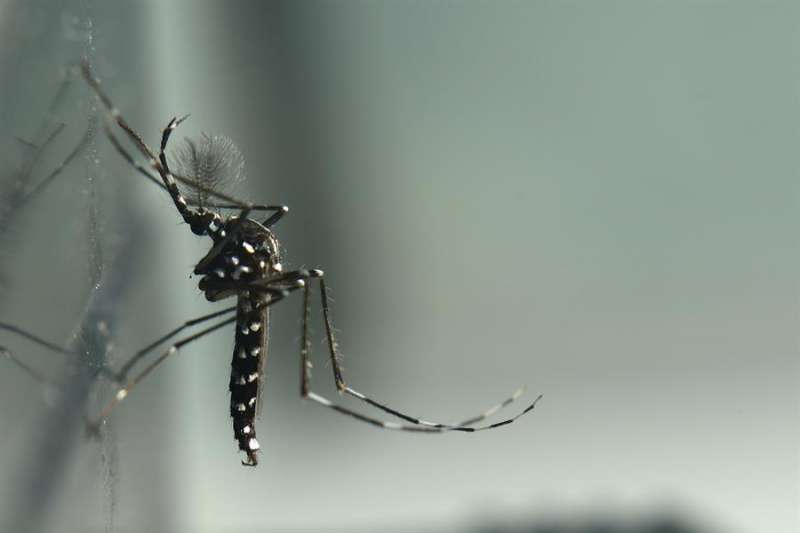 Una imagen de un mosquito tigre, facilitada por Lokímica. EFE