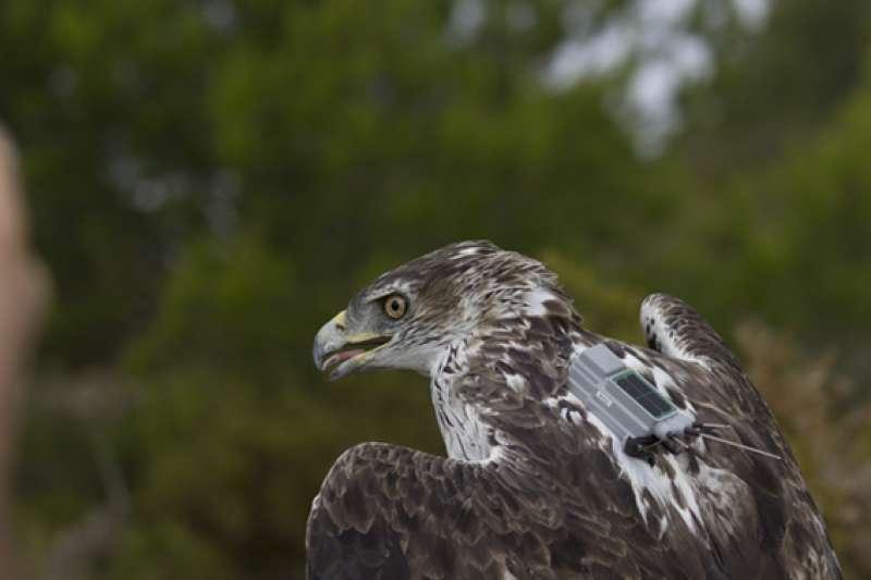 Ejemplar de águila perdicera