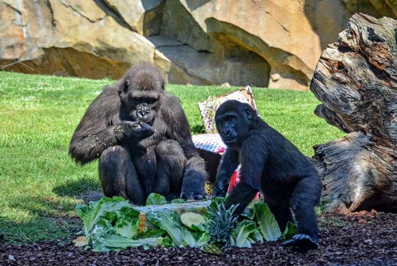 La gorila Virunga celebra su 3er cumplea�os junto a su familia en el Bioparc Val�ncia. EPDA