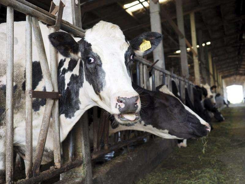 Imagen de una vaca en una ganadería. EFE/Archivo