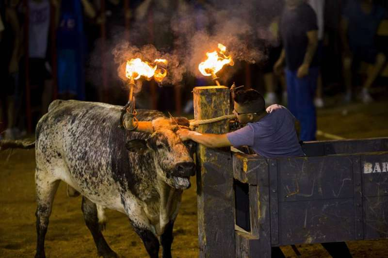 Un mozo corta la cuerda que libera al toros tras encenderle las bolas de las astas. - EFE