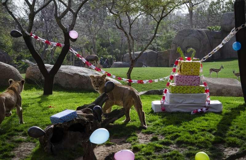 Animales de celebración en el Bioparc de València. EPDA