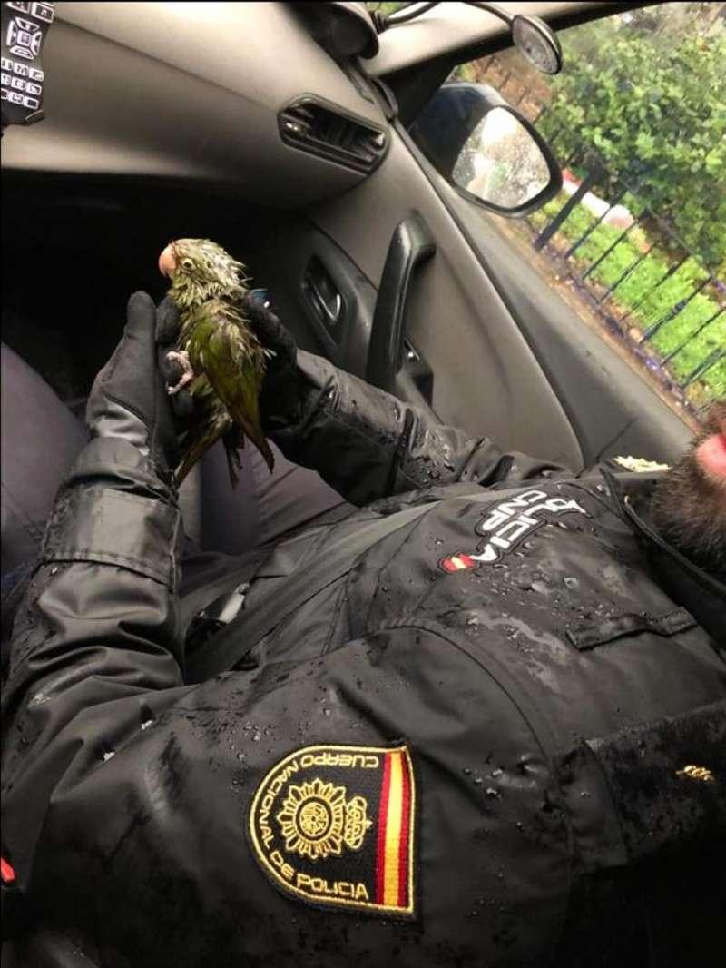 Una imagen del agente calentando a la cotorra rescatada con el aire acondicionado del coche policial. EFE