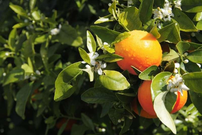 Un mandarino con la variedad protegida Orri. EPDA