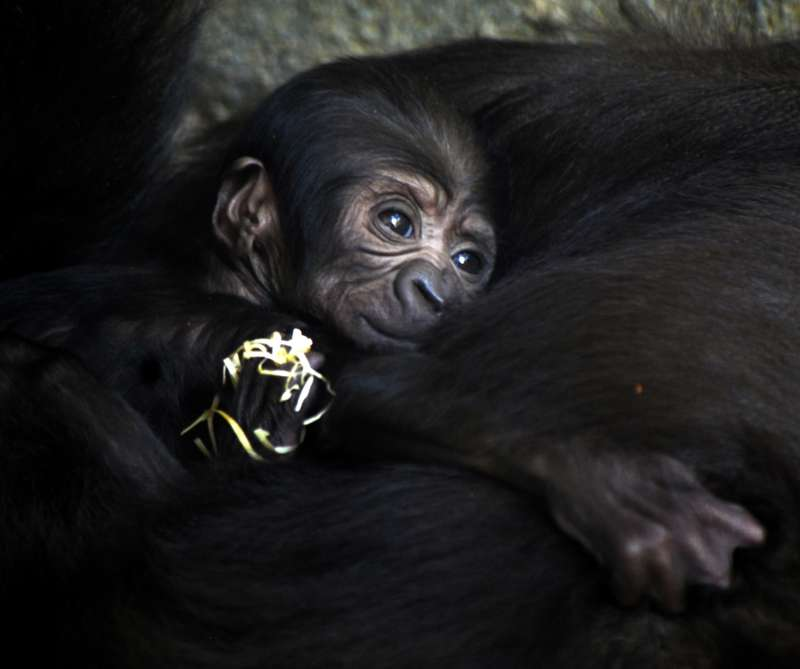 Los gorilas están en peligro crítico de extinción y este nuevo nacimiento representa un logro del programa internacional de conservación de la especie.