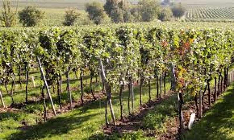 Imagen de un viñedo. EPDA