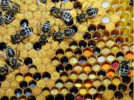 La organización ecologista ha recogido testimonios de apicultores que denuncian los mortales efectos de estos productos sobre sus colonias. FOTO: EPDA.