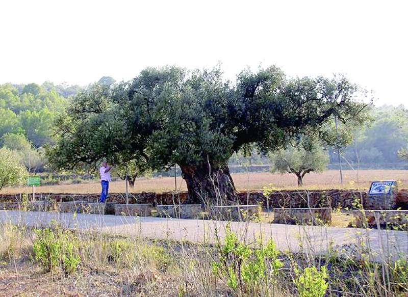 La olivera Morruda de Segorbe cuenta sus años con cuatro cifras
