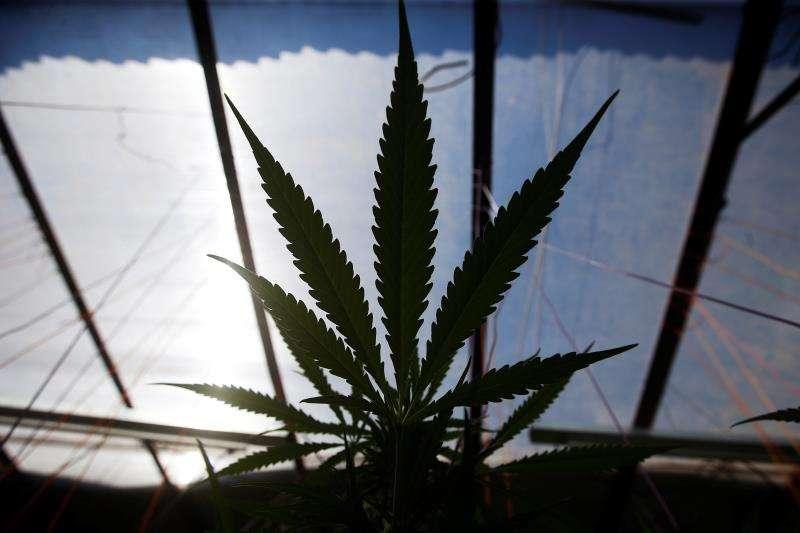 Fotografía de una planta de marihuana en un club cannábico. EFE/Archivo