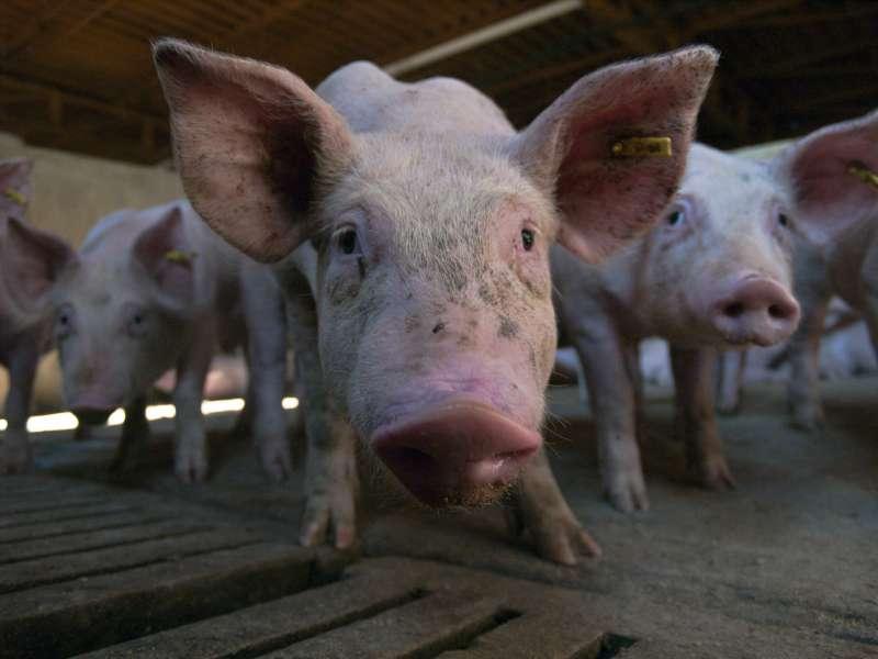 Granjas del sector porcino.