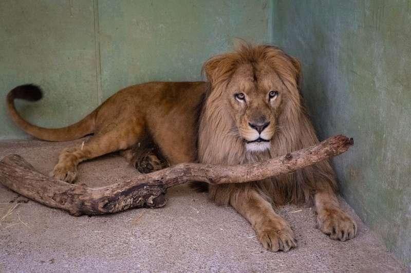El león Lubango
