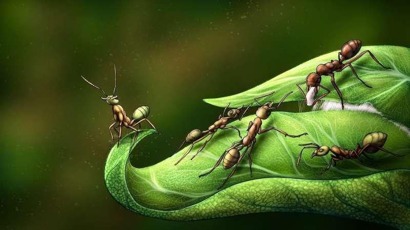 Las hormigas tejedoras del género Oecophylla utilizan sus propias larvas para unir los extremos de las hojas mediante la seda que estas producen. / Sergio Ibarra Mellado