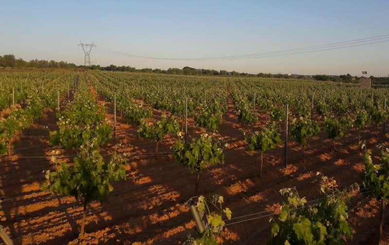 Campo de viñedos de Requena. Luis Ibáñez