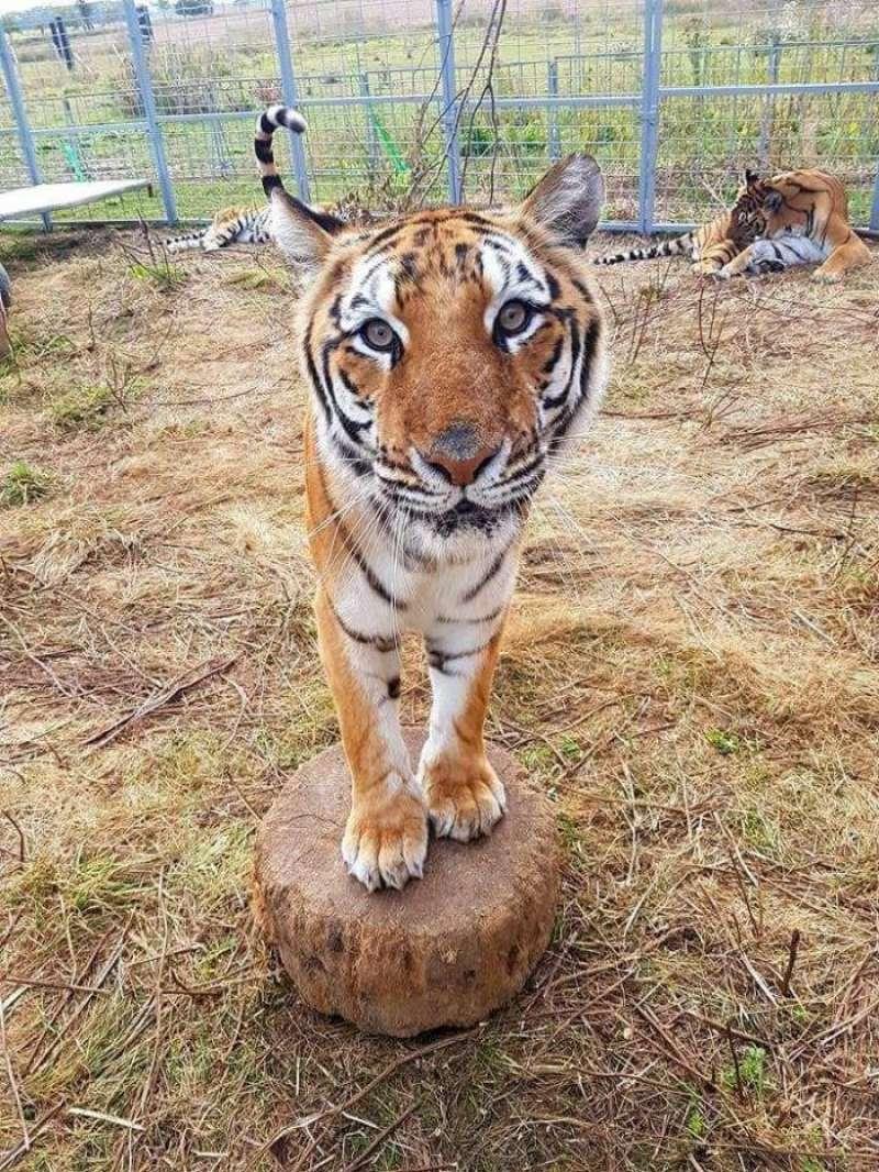 Uno de los tigres de bengala del Circ de Nadal, en una imagen facilitada por este circo. EFE
