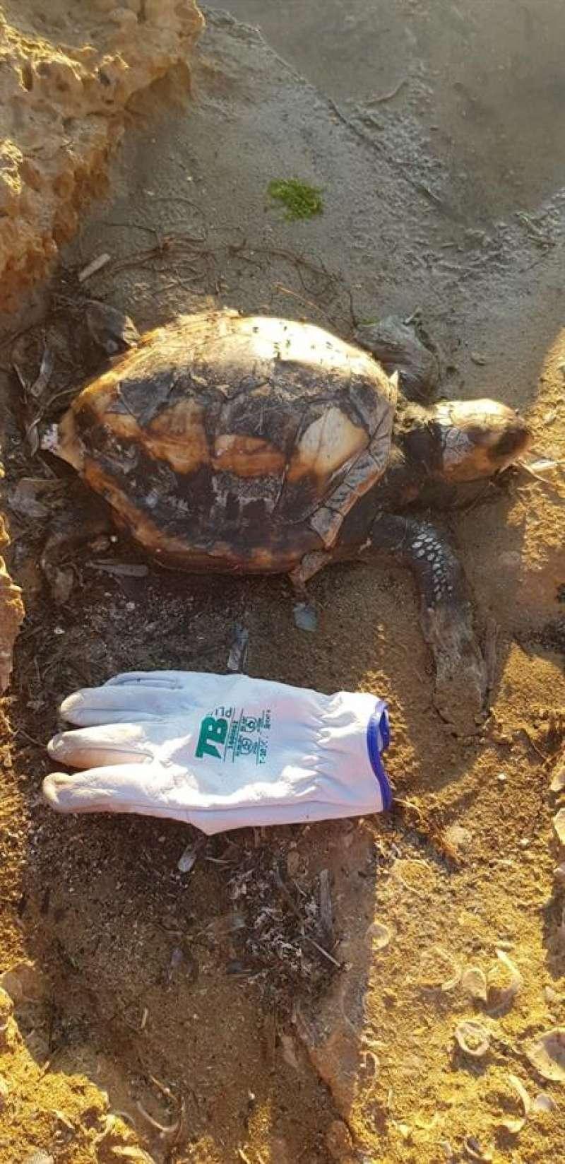 Imagen de la tortuga facilitada por el Ayuntamiento de Torrevieja. EFE