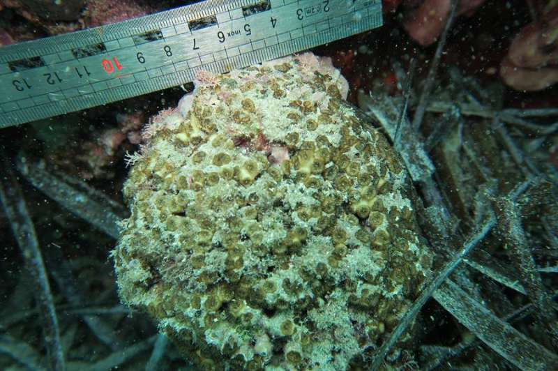 Imagen cedida por la Diputación de Alicante de uno de los corales objeto del estudio. EFE