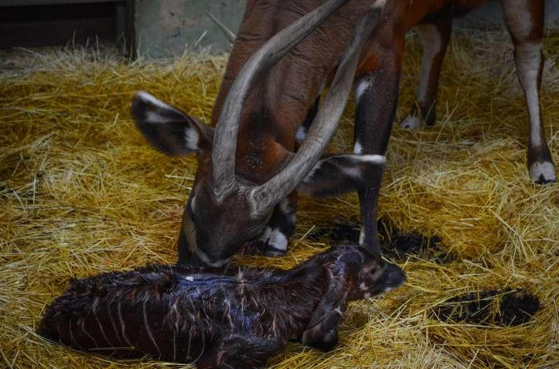 Bongo oriental recién nacido en BIOPARC Valencia.EPDA