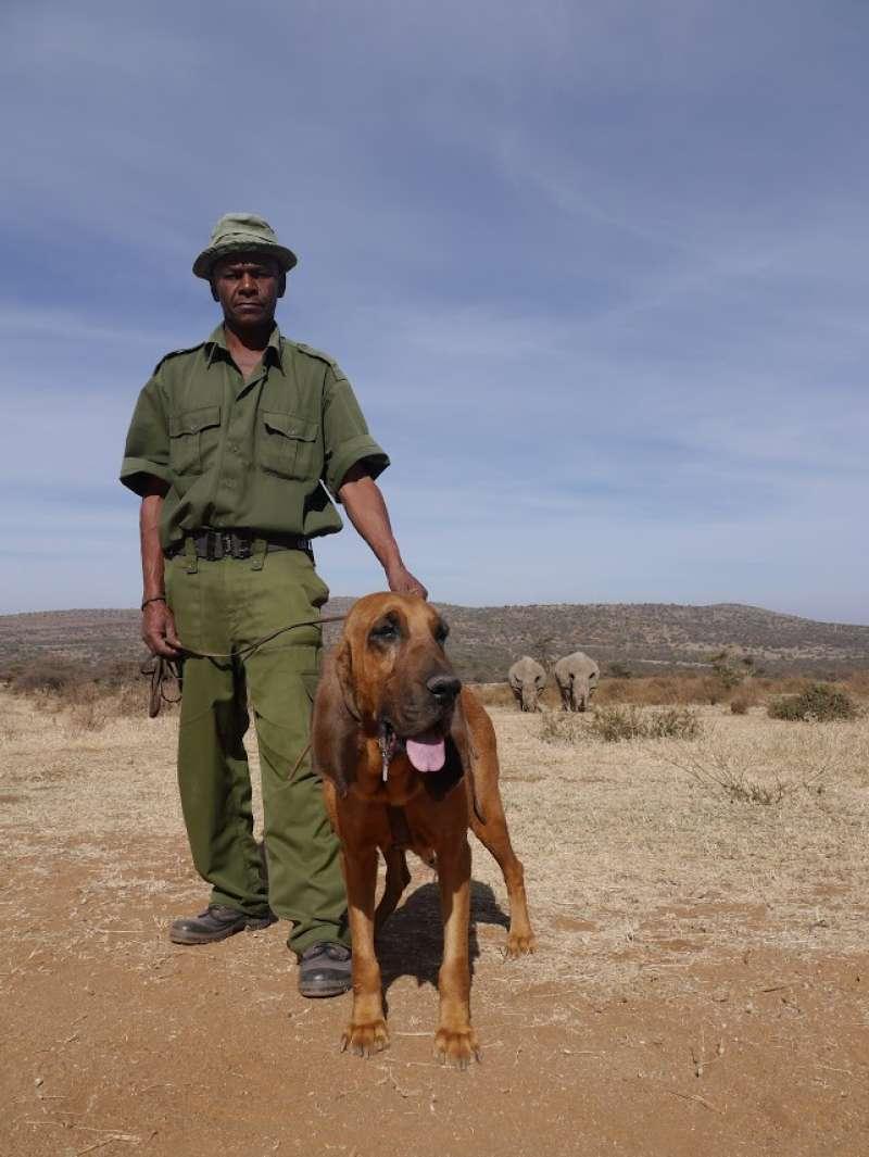 Uno de los canes con los que se salvan rinocerontes en Kenia
