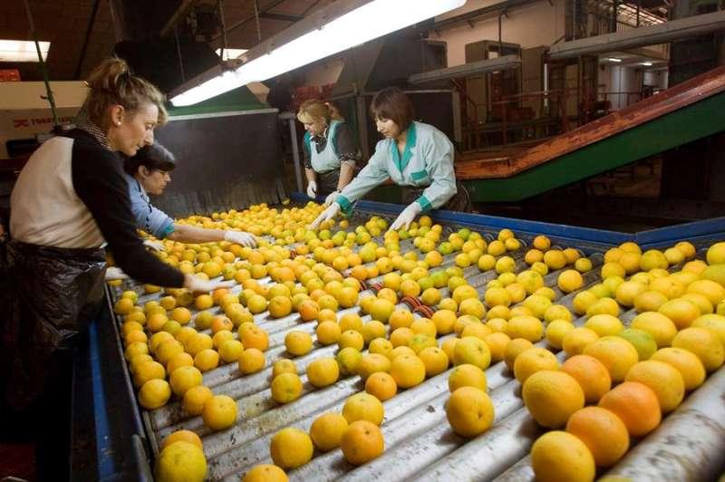 Imagen de archivo de un grupo de mujeres trabajando en una cooperativa agrícola de Gandia. EFE/Rubén Francés