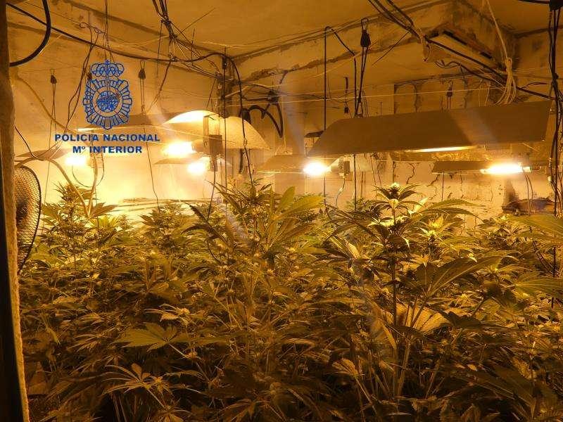 Imagen facilitada por el Cuerpo Nacional de Policía de una de las plantaciones que se han desmantelado este lunes en Alzira. EFE