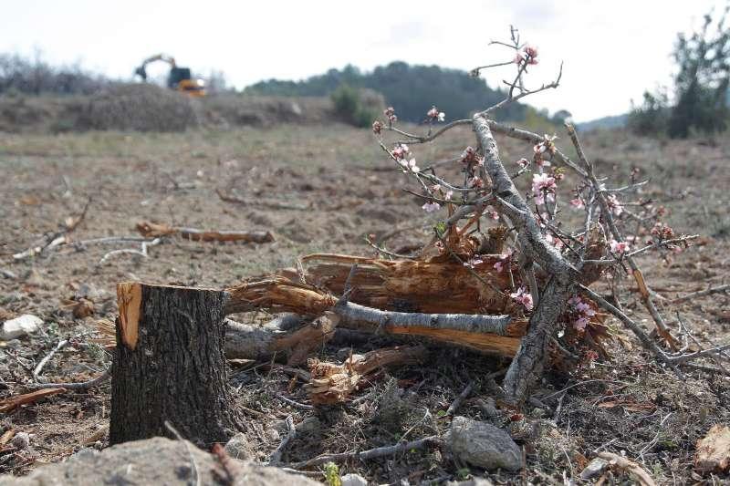 Imagen de archivo de almendros de Alicante afectados por la