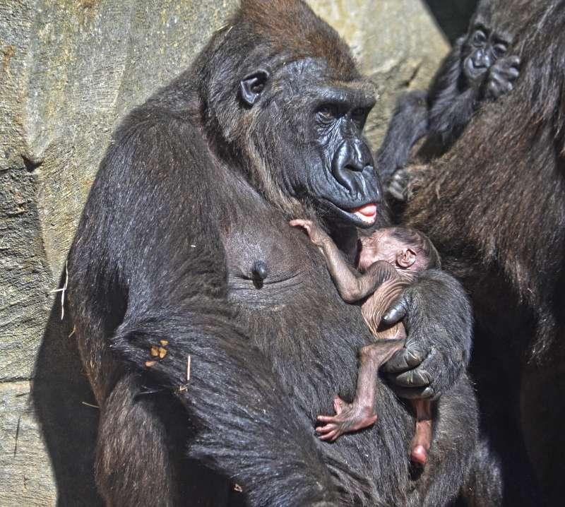 La gorila Fossey y su bebé recién nacido.