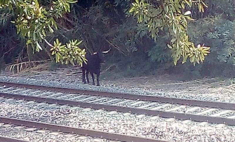La cuarta vaca junto a la estación
