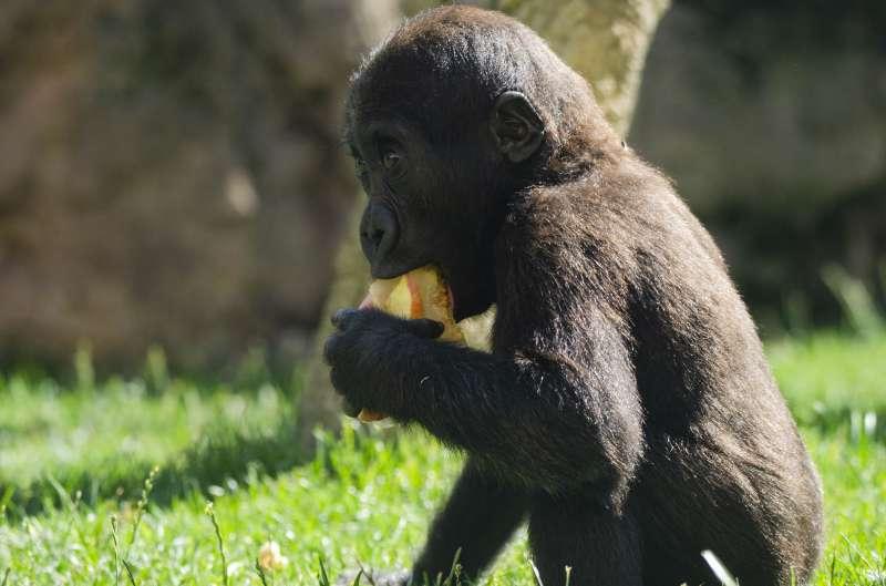 El bebé gorila Pepe comiendo un helado de frutas