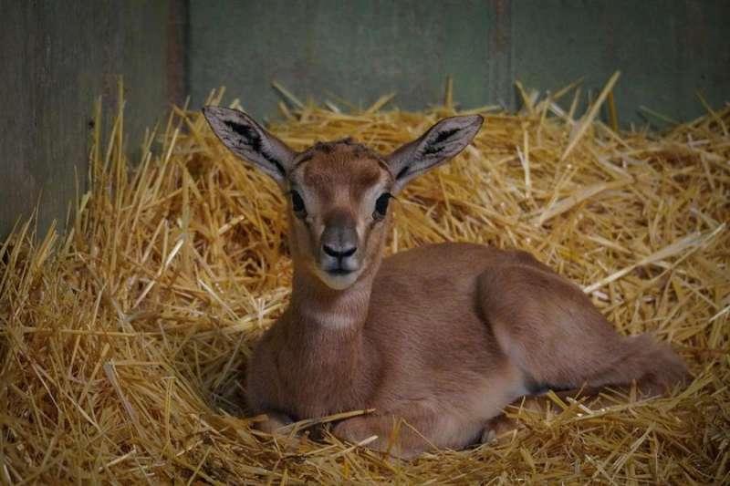 La cría de gacela Mhorr, en una imagen de Bioparc. EPDA