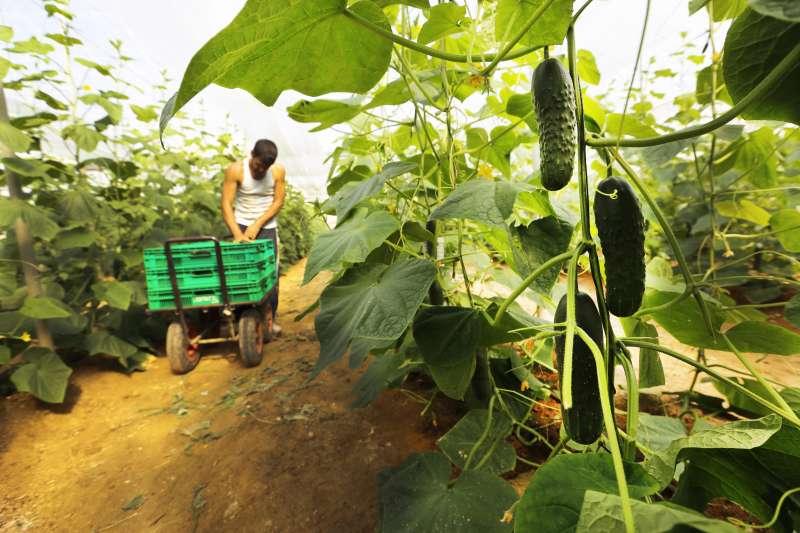 Un agricultor con el pepino en la mano.EPDA