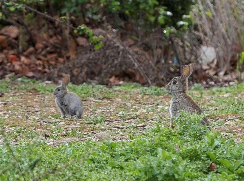 Unos conejos en un parque. EFE