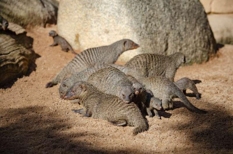 Nuevas crías de mangosta rayada en BIOPARC Valencia. epda
