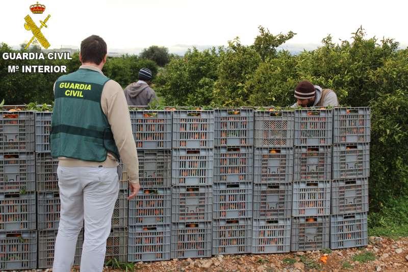 Guardia Civil investigando la empresa de recolección de cítricos.