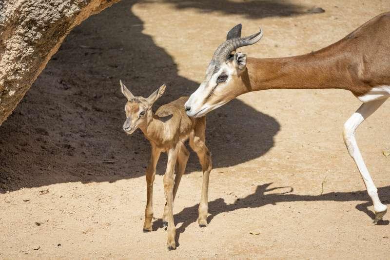 Cría de gacela Mhorr nacida en el Bioparc
