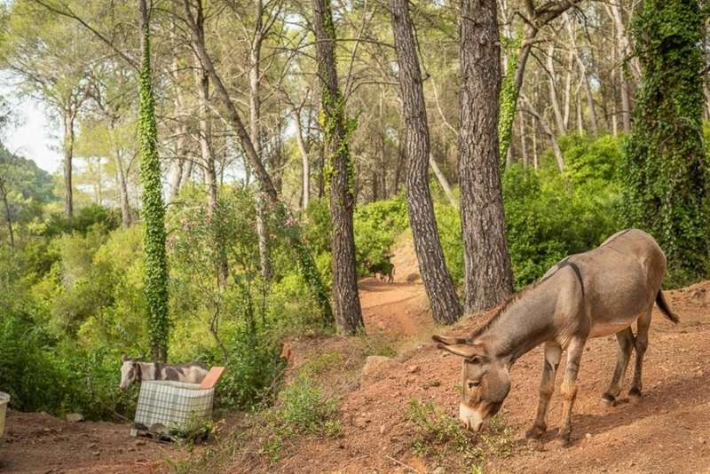Uno de los burros que formaban parte de una iniciativa de limpieza de bosques para luchar contra los incendios forestales.