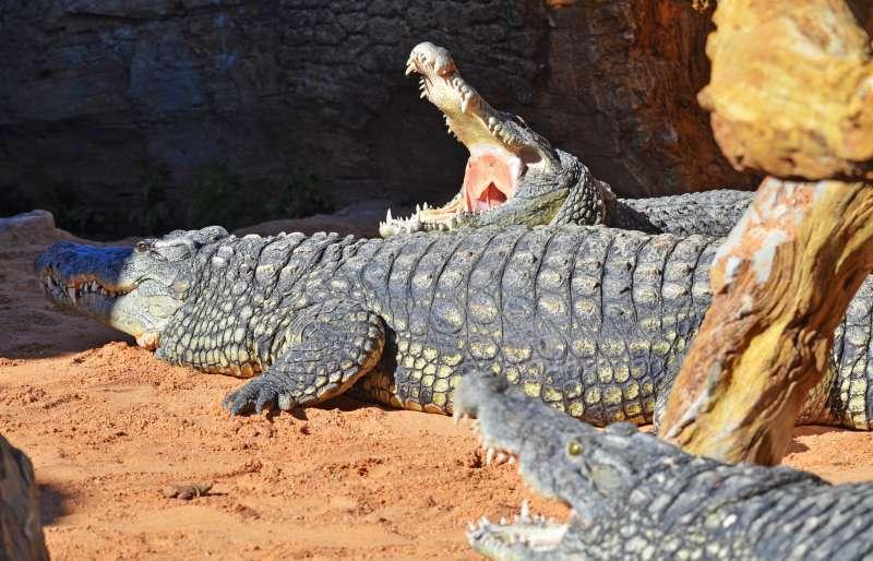 BIOPARC Valencia recibe tres cocodrilos del Nilo. EPDA