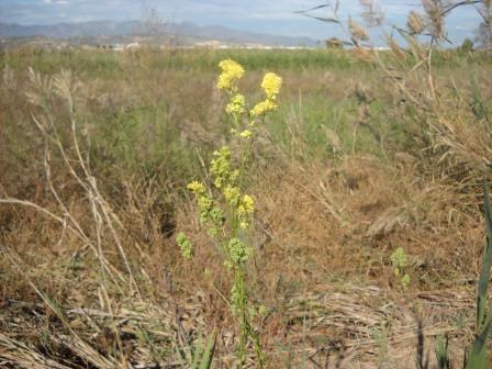 La ruda de mallada o falsa ruda (Thalictrum maritimum) és un endemisme valencià amenaçat. FOTO: EPDA