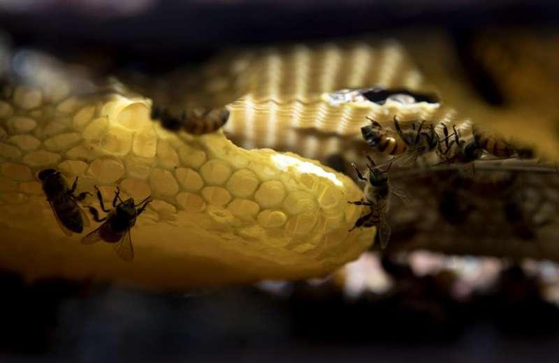 Varias abejas productoras de miel dentro de un panal en una imagen de archivo. EFE/Jorge Torre