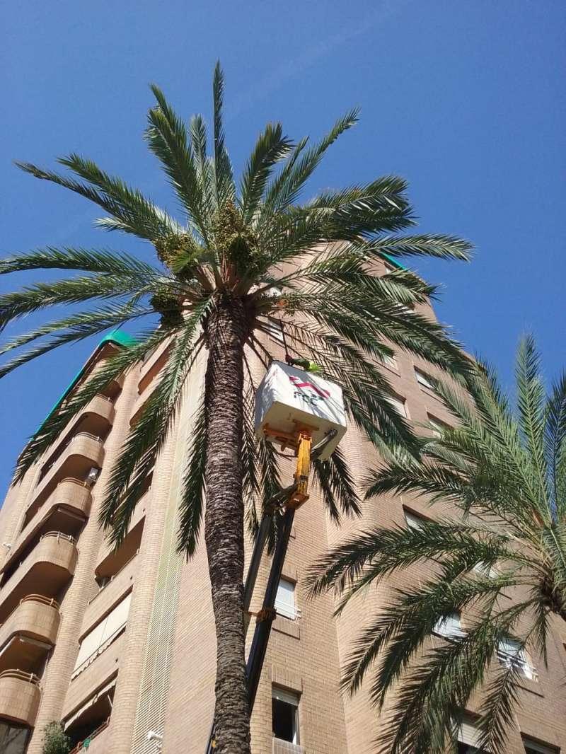 Poda de palmeras en València.