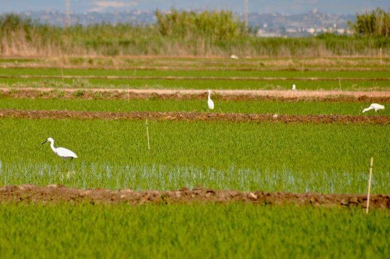 Fotografía de un arrozal facilitada por la Generalitat. EFE