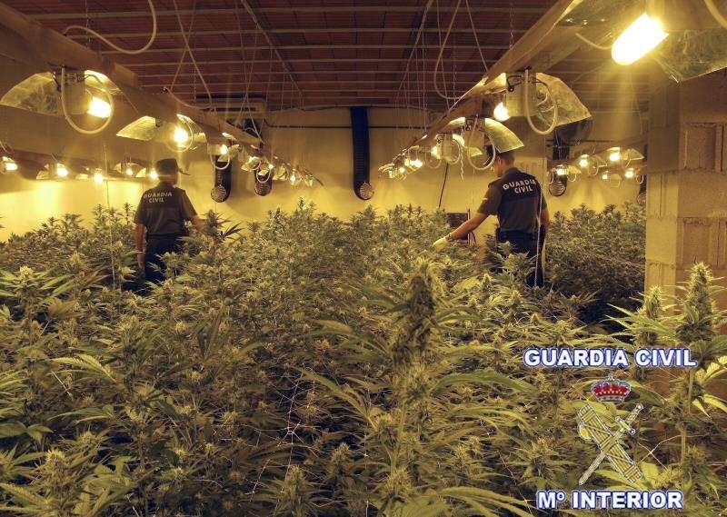 Plantación de marihuana. EFE/Archivo