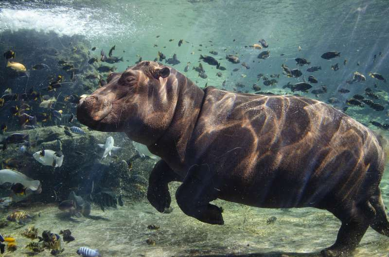 La cría de hipopótamo Gori cumple 11 meses