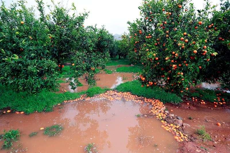 Un campo de naranjos afectado por el temporal. EFE