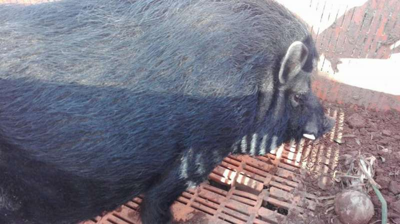 Cerdo vietnamita hallado en Alboraia. EPDA