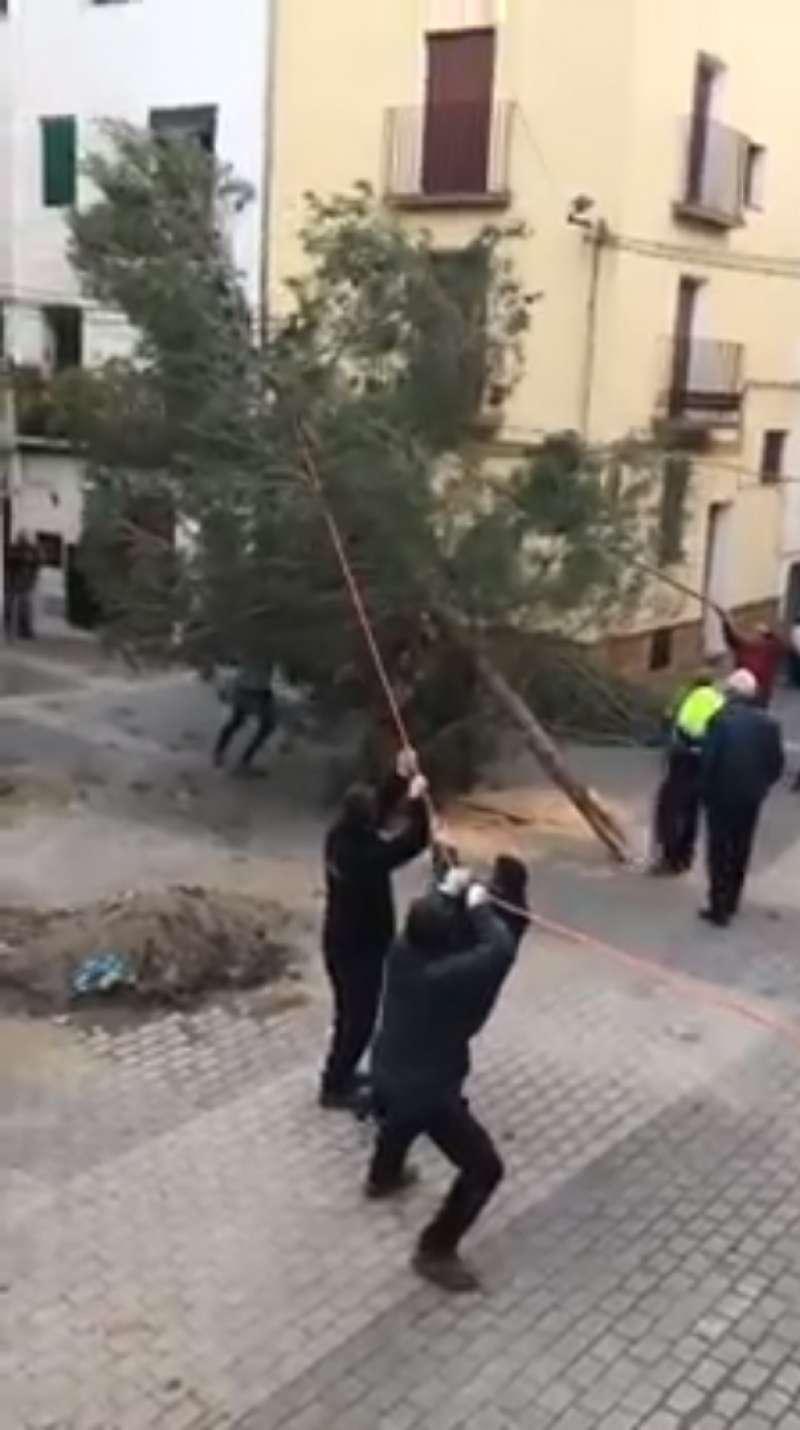 Plantación del pino