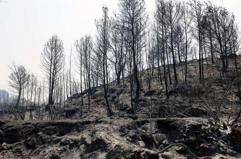 Varios árboles calcinados en el incendio forestal declarado el 14 de agosto en Azuébar (Castellón).