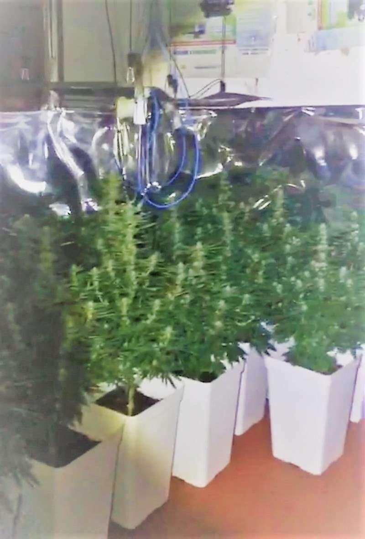 Plantas de marihuana. EFE
