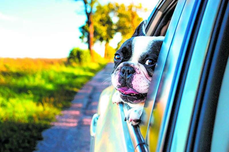 Perro viaja en un coche
