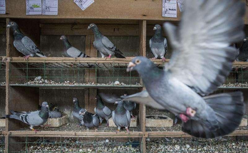 Palomas en el interior de un palomar. EFE/Archivo